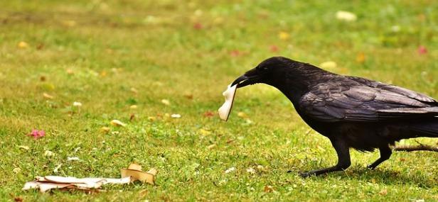 common-raven-2374948_640